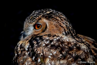 Savigny's Eagle Owl Closeup 2