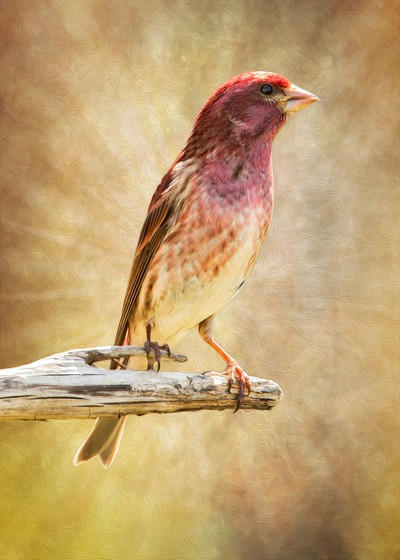 Styling Purple Finch
