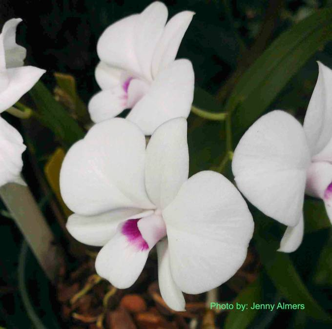 purple throated white orchid cluster