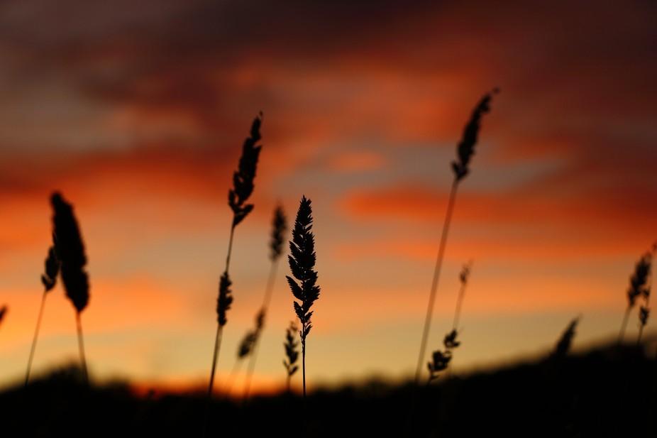 Long Grass at Sunset