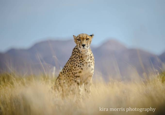 Cheetah by kiramorris - Explore Africa Photo Contest