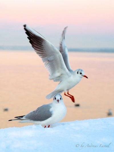 Little Gulls