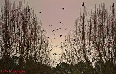 Blackbirds in Morning