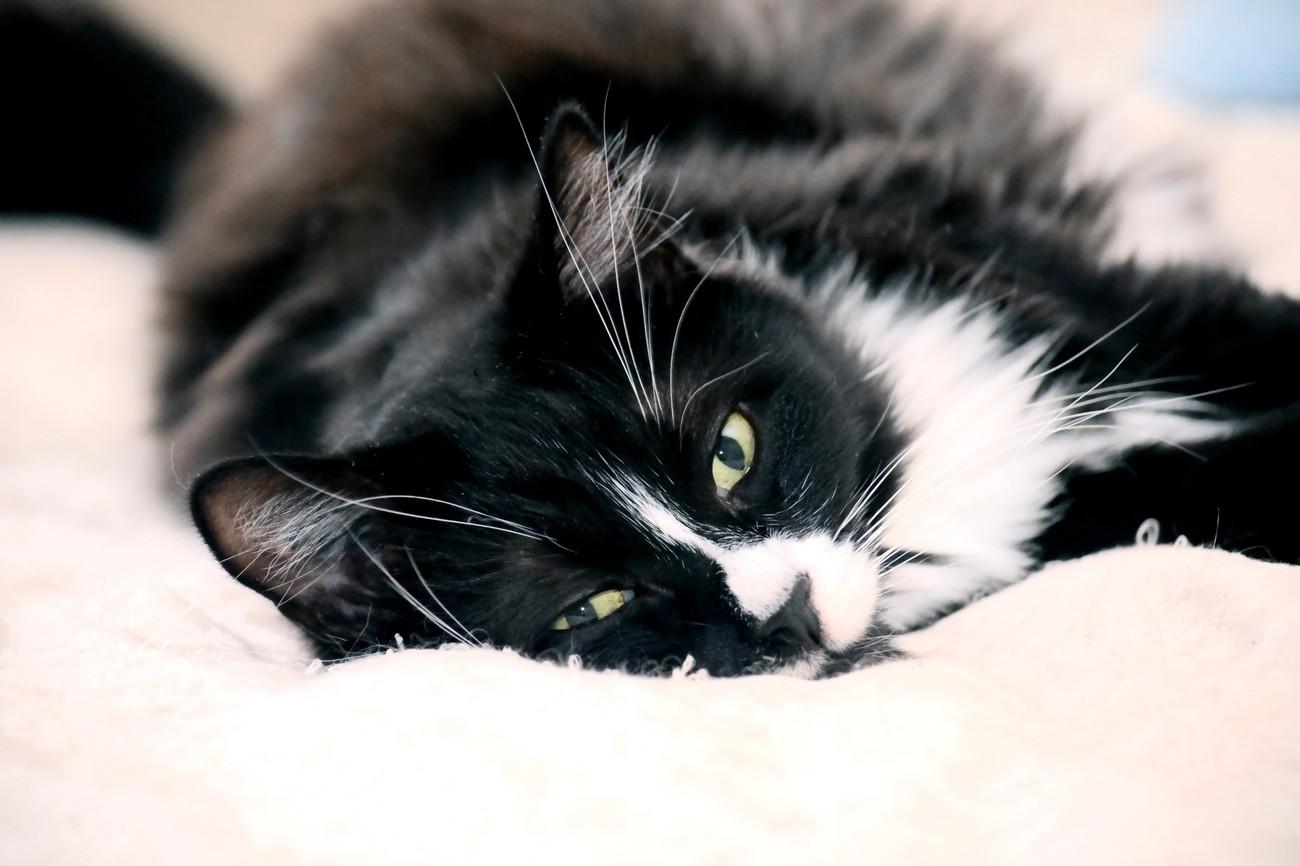 Big Dude Black and White Tuxedo Cat