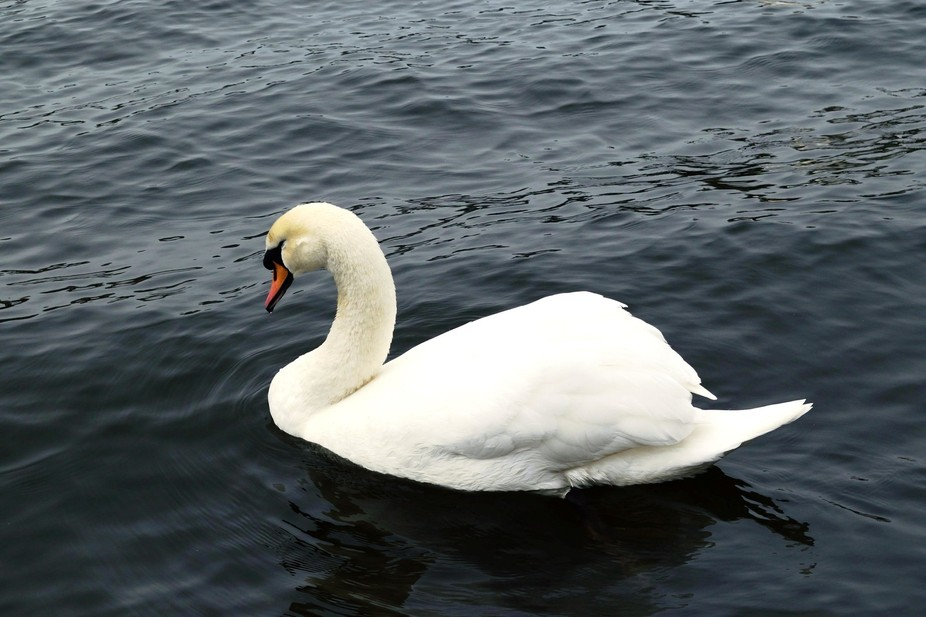 Swan in colour