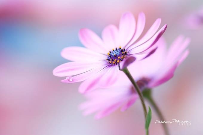 Poetry by Barbora_Polivkova - Pink Photo Contest