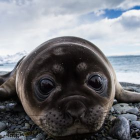 A friendly and inquisitive baby elephant seal snuggles up to my lens. In South Georgia