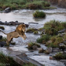 The male leaping across the Talek river to get to the rest of the pride. In the Masai Mara.