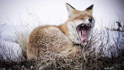 Toothy Snow Fox