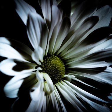 Shadows on a White Flower