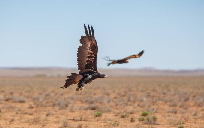 Wedge-Tailed Eagle by Ozscapes - Just Eagles Photo Contest