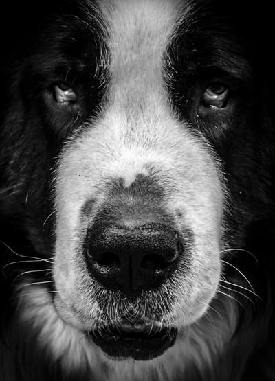 B&W Dog Portrait