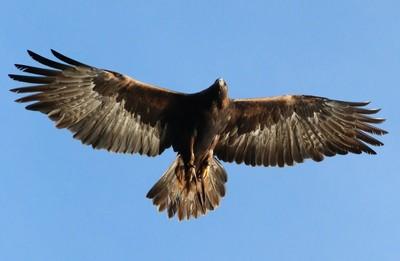 Golden Eagle, Adonis