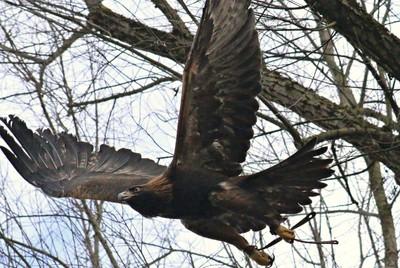 Adonis, Golden Eagle 2