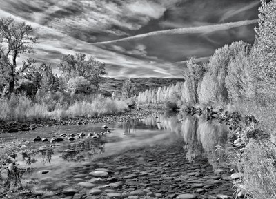 Trees Along The Truckee River in Infrared