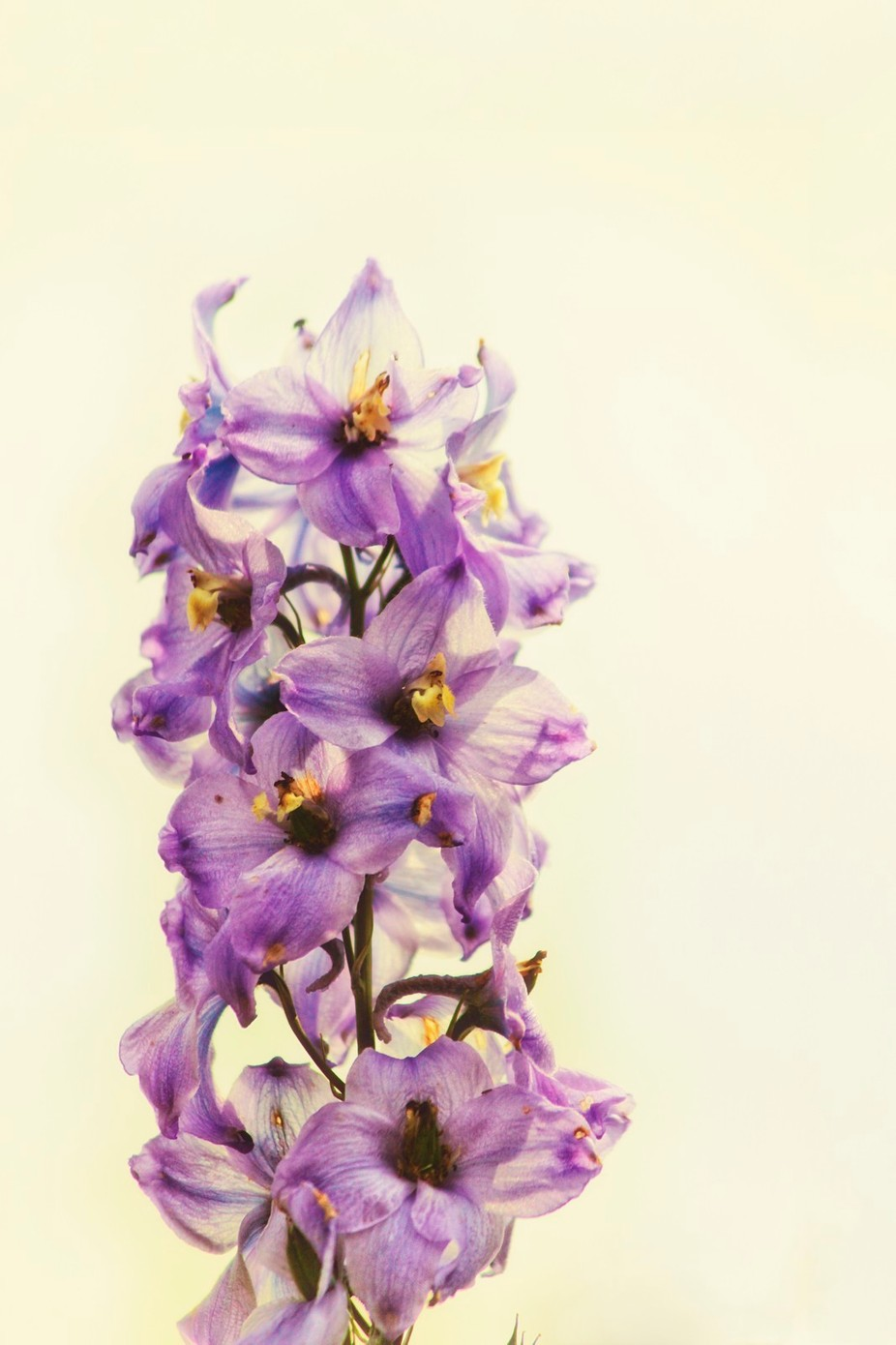 Purple Larkspur Delphinium by VickiField
