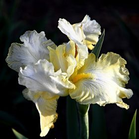 This was taken from a patch of very beautiful Irises I have growing in my backyard.