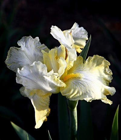 Light Yellow Iris.