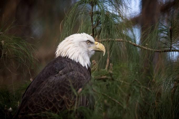Eagle by zero9photog - Just Eagles Photo Contest