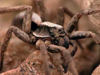 Red Rock Spider
