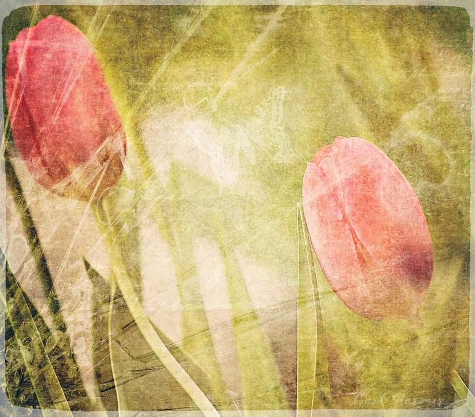 Captured some beautiful tulips in a friend's garden. Textures and overlays were added to...