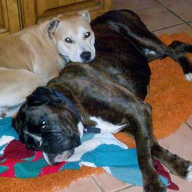 Bruno boxer (RIP) not long before Bruno became unwell. He was always tolerant of Storm though, even when she was a pup and bouncing around all ov...