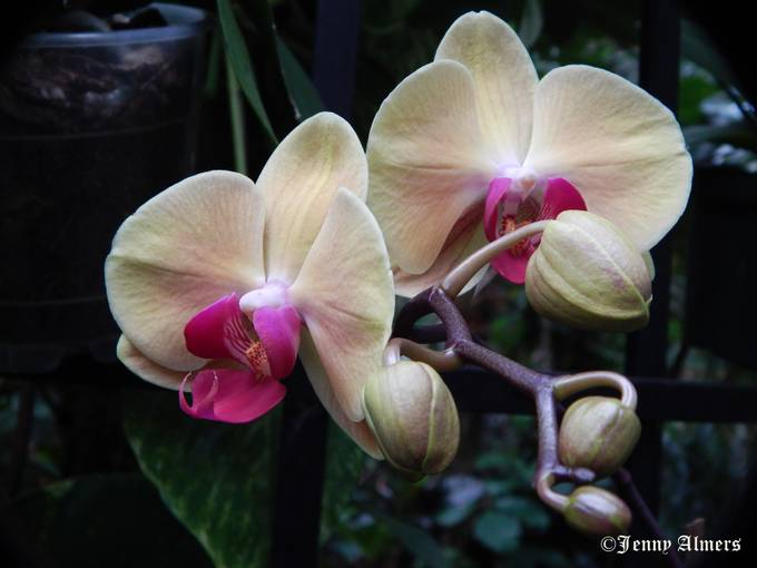 Orchids at Conservatory1