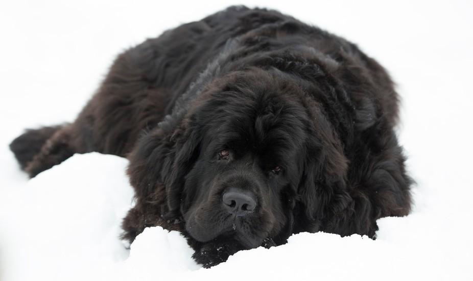 chien noir 2