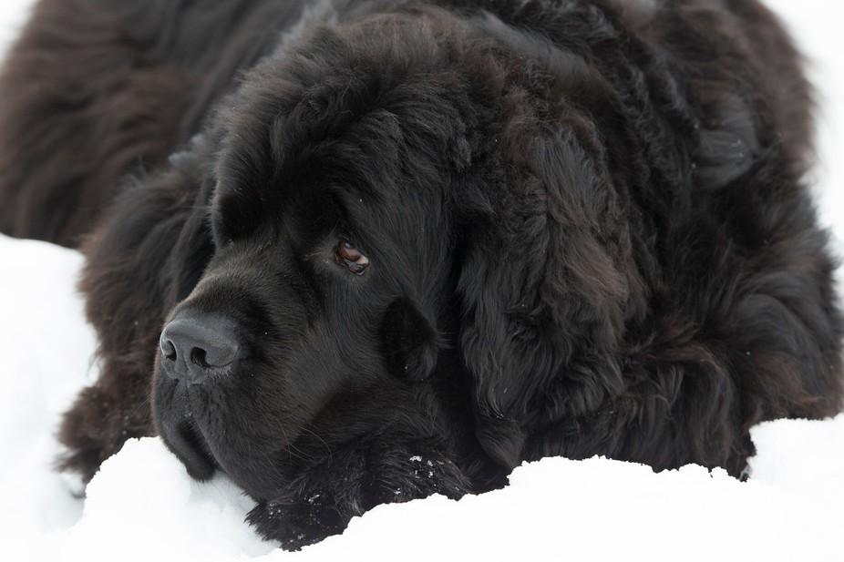 chien noir 1