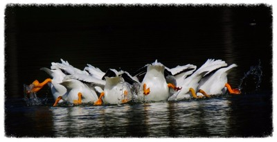 white pelicans upside down