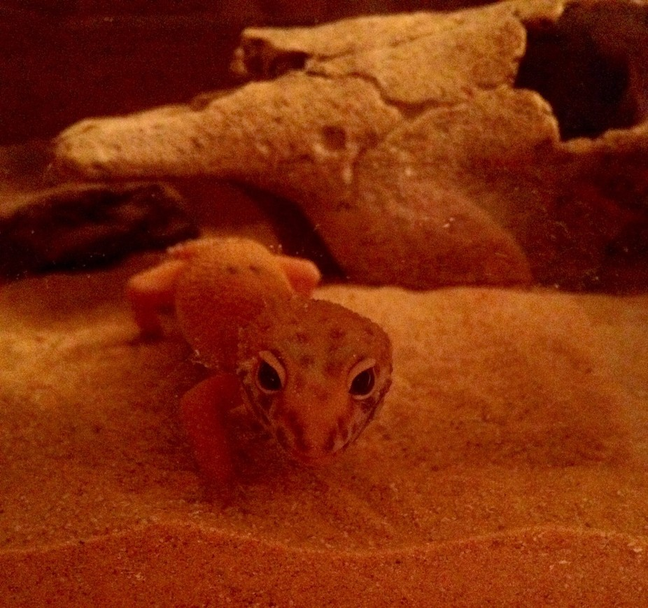 My new Tangerine Leopard Gecko, about 6 months old I think