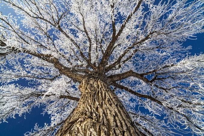 Frosty Giant by jimstennette - Tall Trees Photo Contest