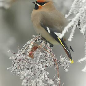 Cedar waxwings always come and finish off all the berries in our trees. Saskatchewan