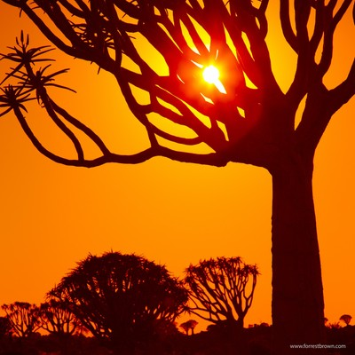 Quiver Tree Sunrise