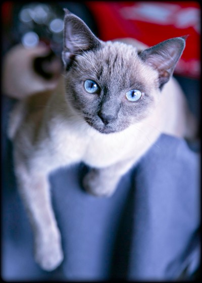 Wesley - A Texas Siamese Rescue kitty