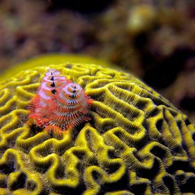 Christmas tree worms sprout from a piece of yellow brain coral near Utila, Honduras.