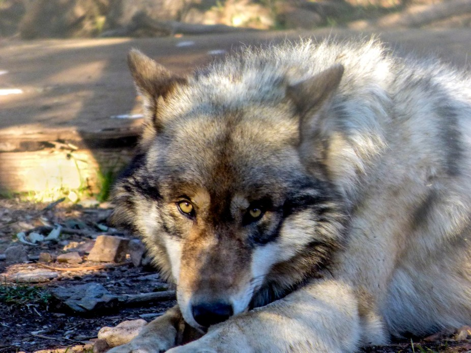 California Wolf Center,,, home of some of the most gorgeous wolves involved in a wold conservatio...