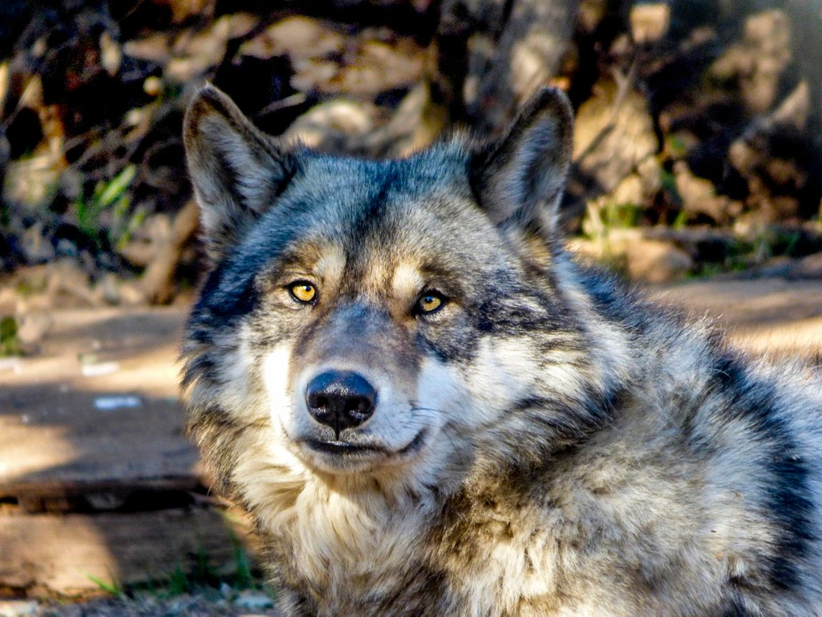 California Wolf Center's Sequoia
