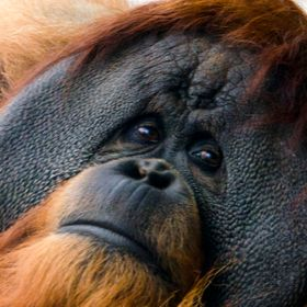 One Sad Orangutan staring at the photographer with tired, lonely eyes.