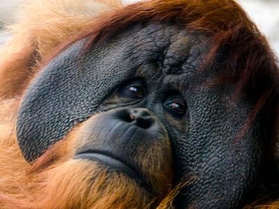 Looking into the Eyes of a Sad Orangutan
