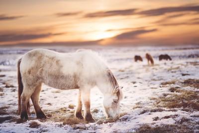 Icelandic farm life