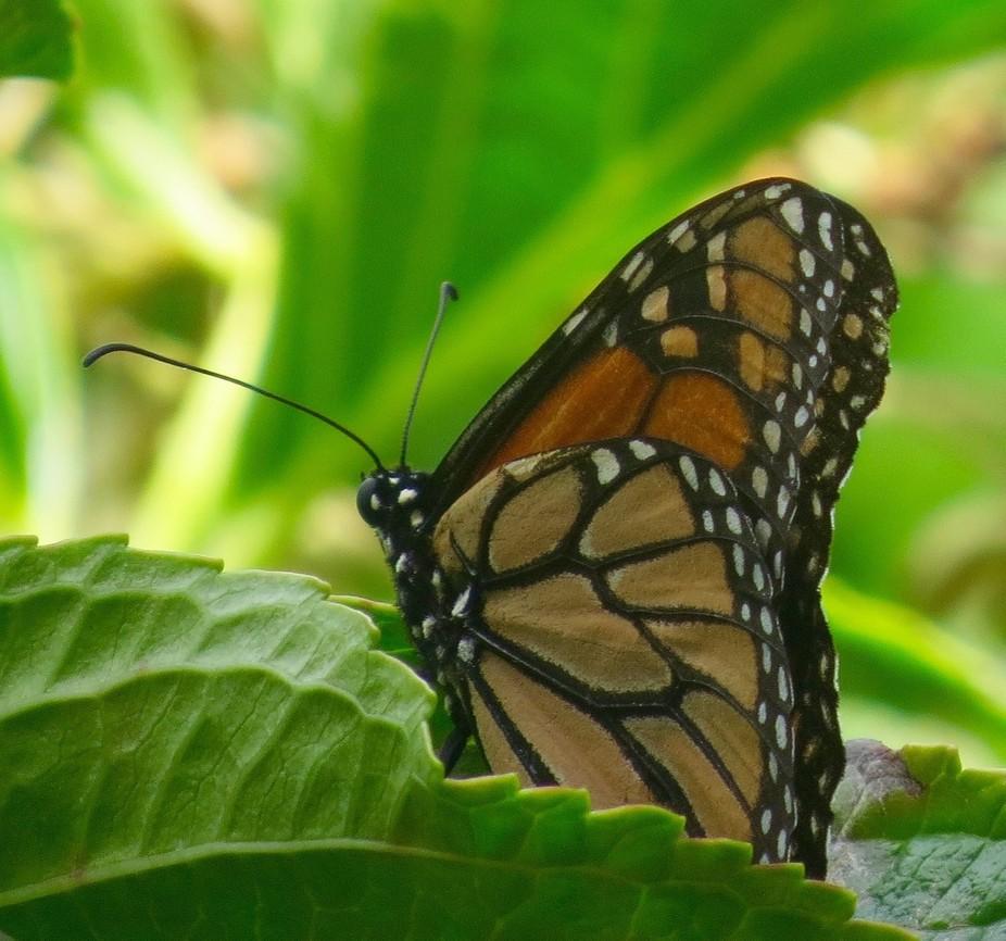 butterfly resting on hydrangea leaf