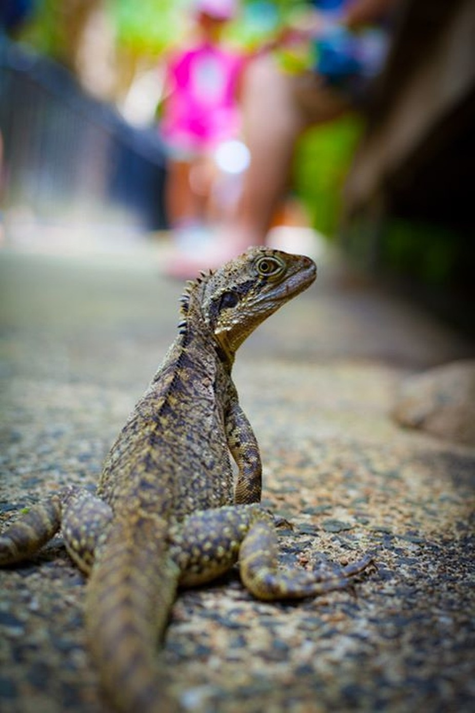 IMG_7201Brisbane, Cooly & Byron Bay.jpg by miguelgaly - Reptiles Photo Contest