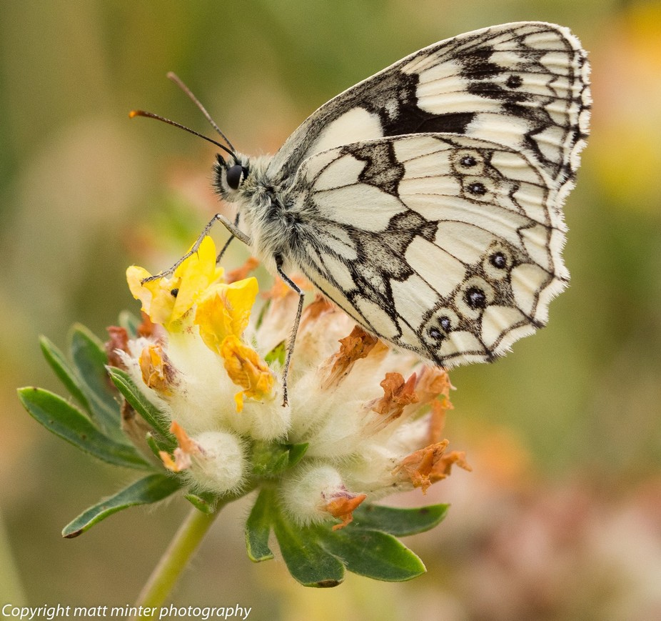 marbled white roosting on kidney vetch