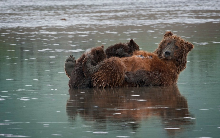 The sow was clam digging and her cubs were pestering her to allow them to suckle.  She finally re...
