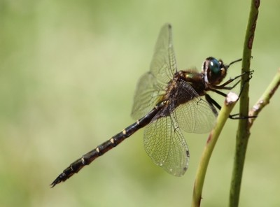 big dragon fly