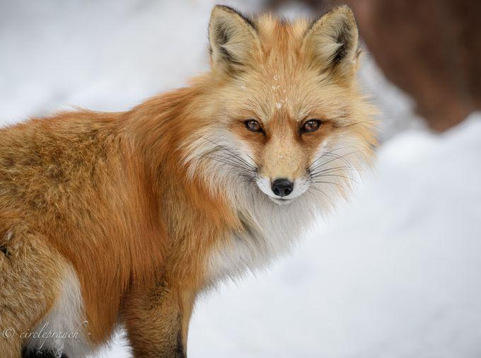 _DSC9853 by circlepranch - Winter Wildlife Photo Contest