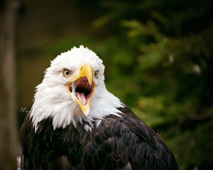 Welcome to Alaska by marrieladurandegui - Just Eagles Photo Contest