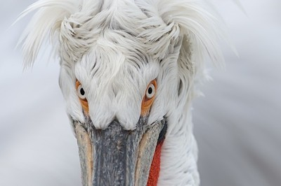 Dalmatian pelican close up