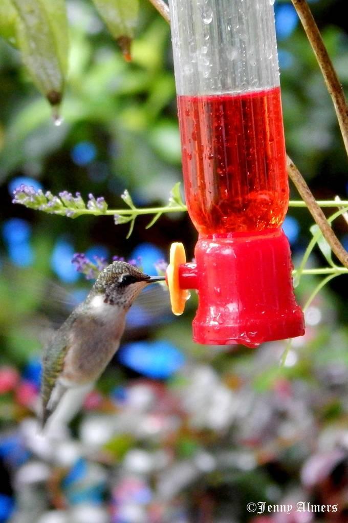 Hummingbird at Feeder 3